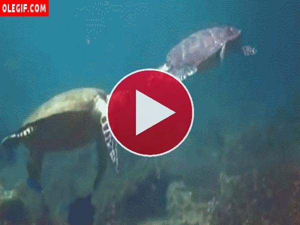 Tortugas marinas peleando
