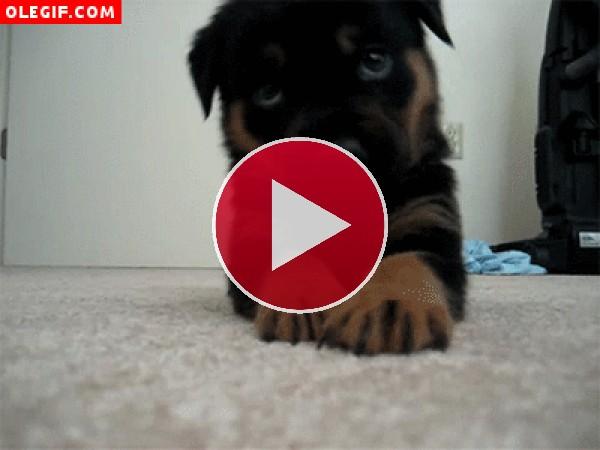 GIF: Cachorro comilón