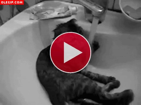 GIF: Un gato bajo el grifo