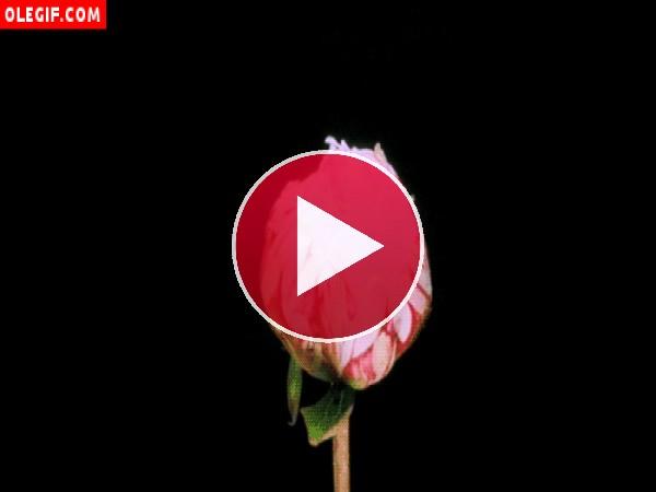 GIF: Peonía rosa