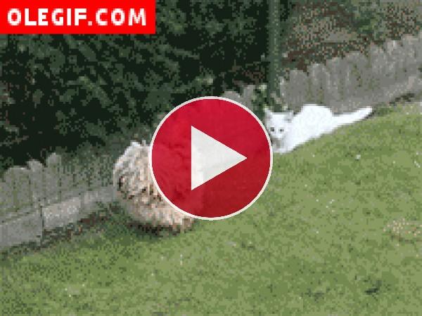 Gato peleando con una gallina