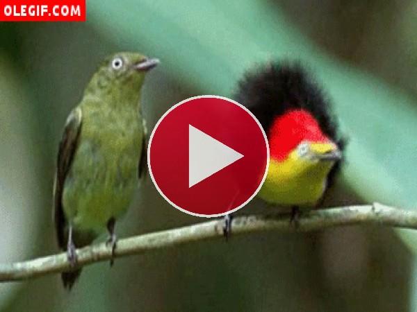 GIF: Pájaro bailando