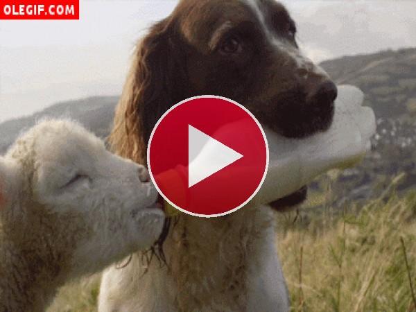 Perro alimentando a un corderito