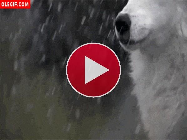 GIF: Lobo bajo la nieve