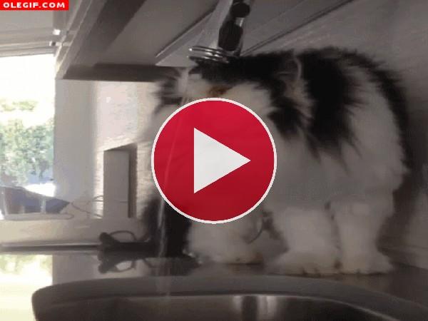 GIF: Gato con sed