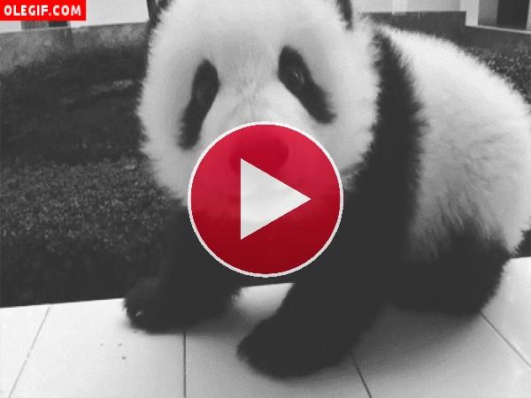 GIF: Un pequeño oso panda