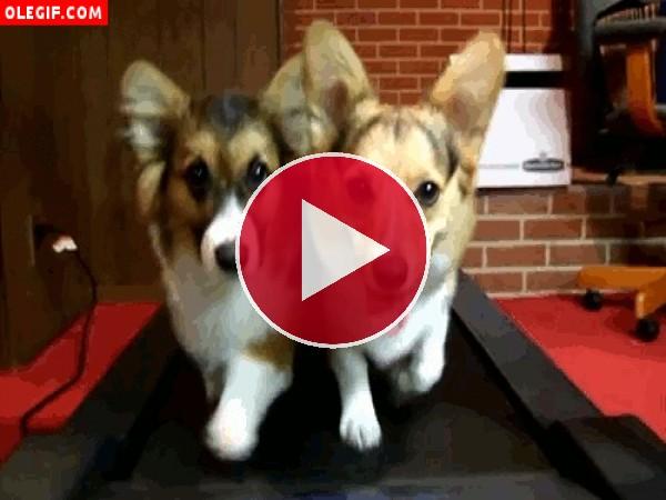 GIF: Perros en una cinta de correr
