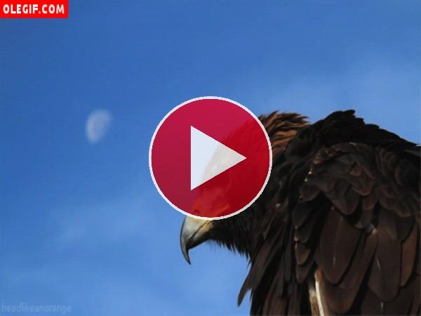 GIF: Águila bailando