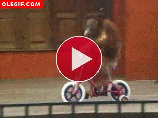 GIF: Orangután en una bicicleta