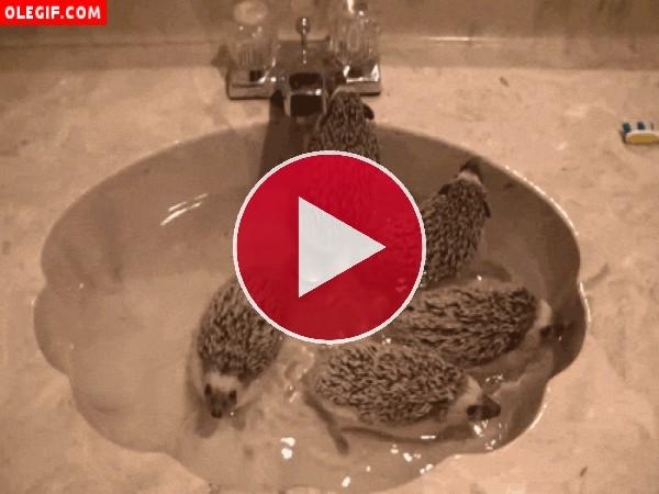 Erizos dándose un baño