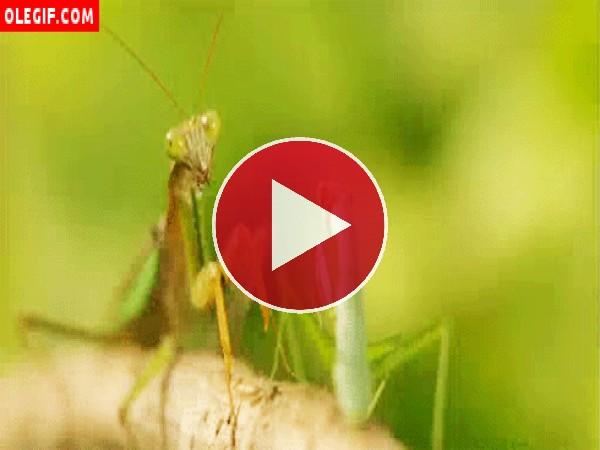 GIF: Mantis religiosa sobre una rama