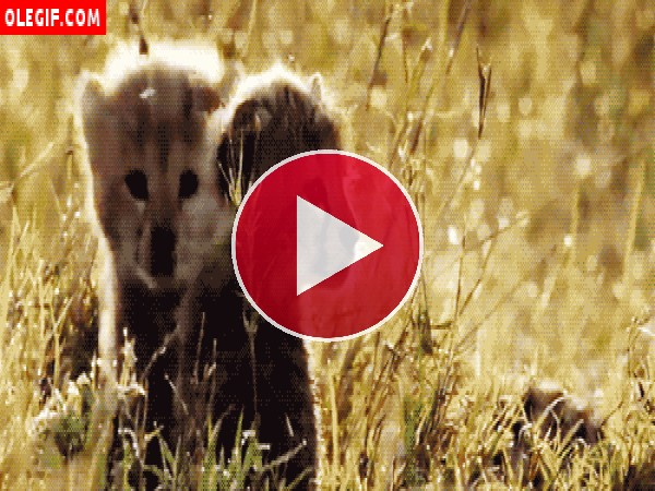 GIF: Cachorros de guepardo