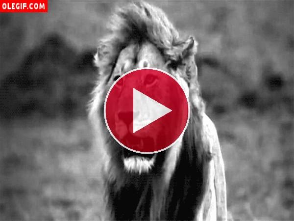 León moviendo las orejas