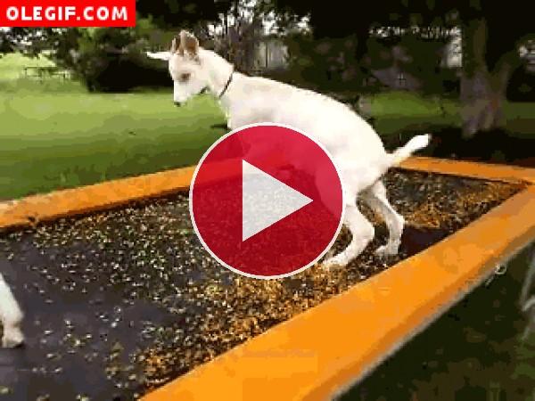 Cabra saltando
