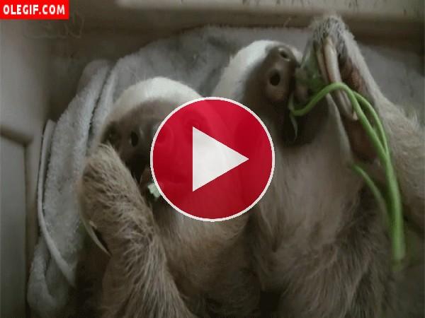 GIF: Perezosos comiendo