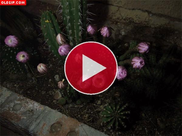 GIF: Flores de cactus