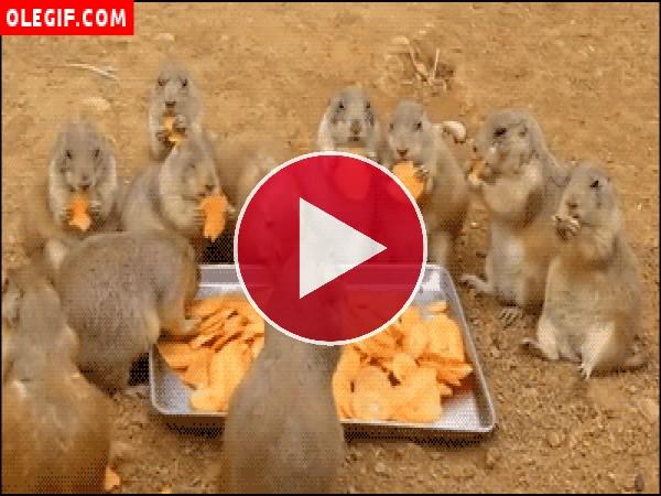 GIF: Marmotas comilonas