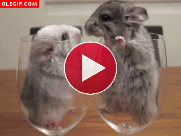 GIF: Amor entre chinchillas