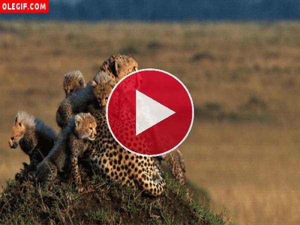 GIF: Familia de guepardos