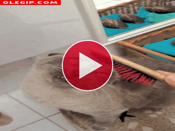 GIF: Cepillando al gato
