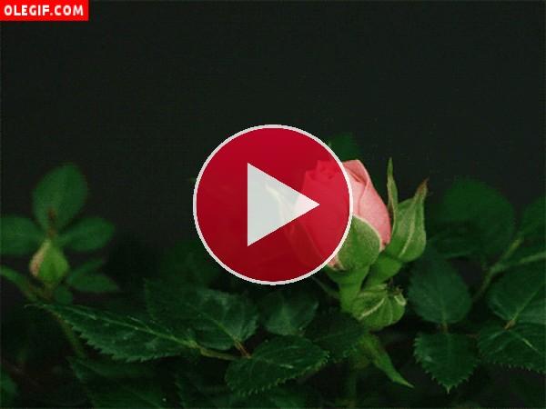 GIF: Rosa de color rosa