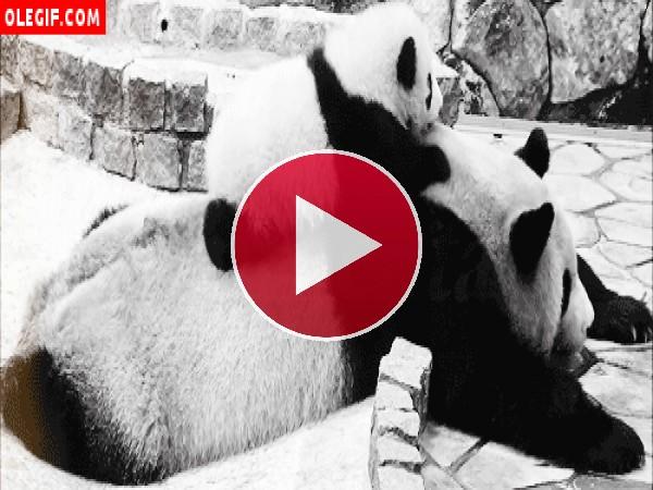 GIF: Caída de un oso panda