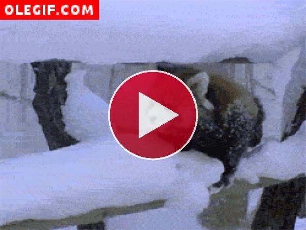 GIF: Panda rojo en una rama