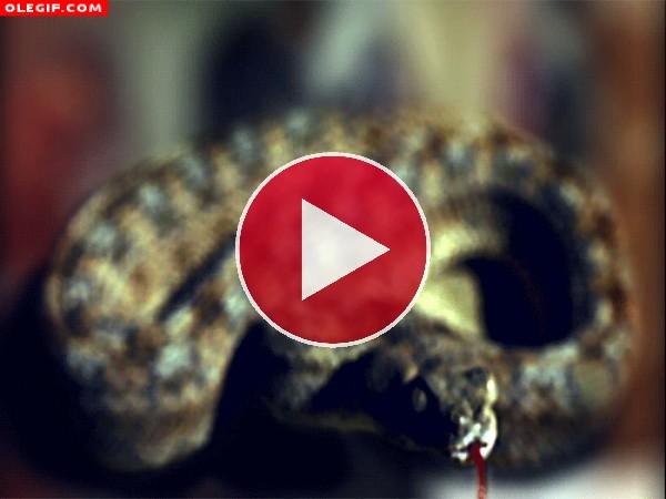 GIF: Serpiente con hambre