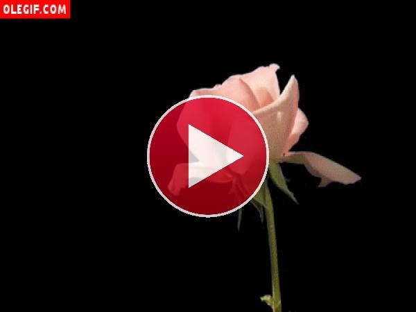 GIF: Rosa girando