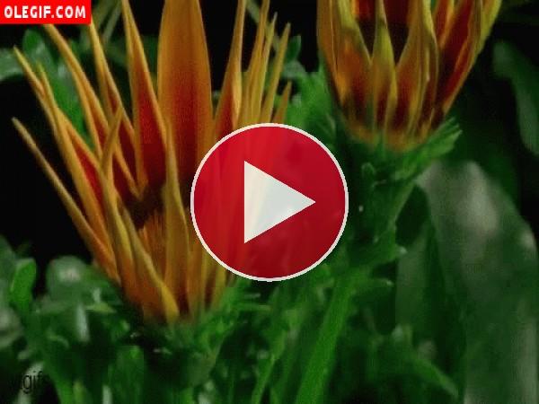 Flores abriendo los pétalos