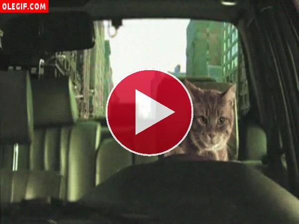 GIF: Gato al volante