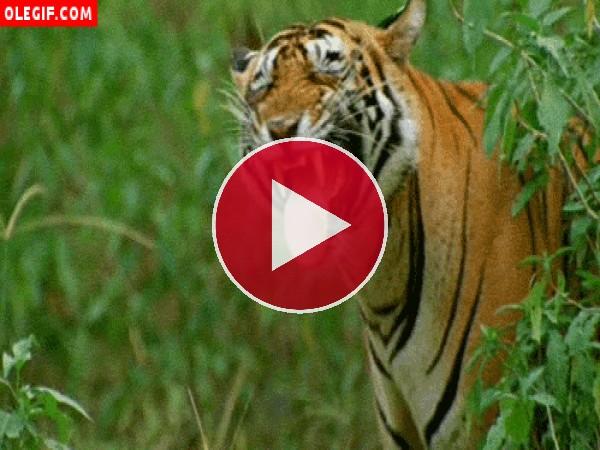 GIF: Tigre chistoso