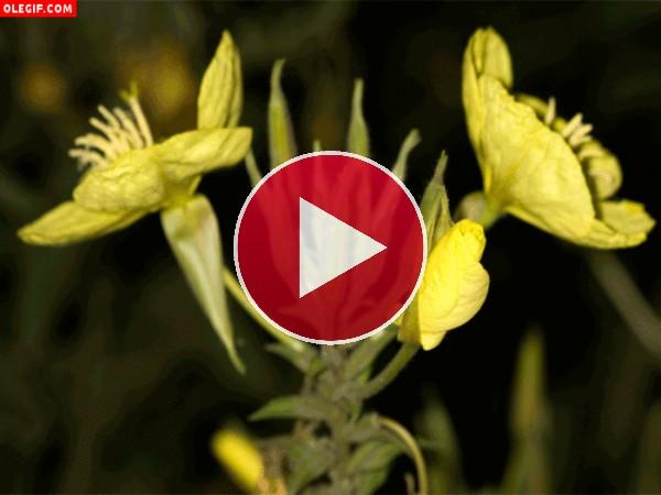 GIF: Flores amarillas