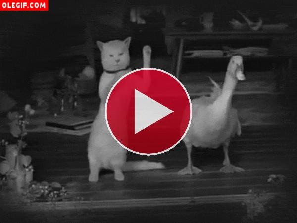 Gato y pato bailando