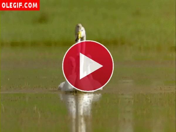 GIF: Familia de cisnes