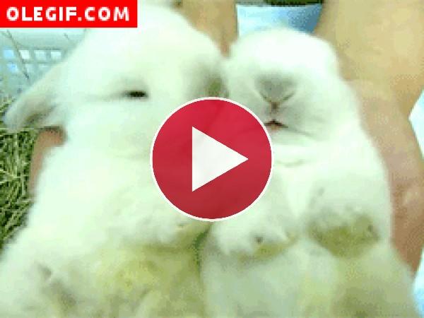 Conejo bostezando
