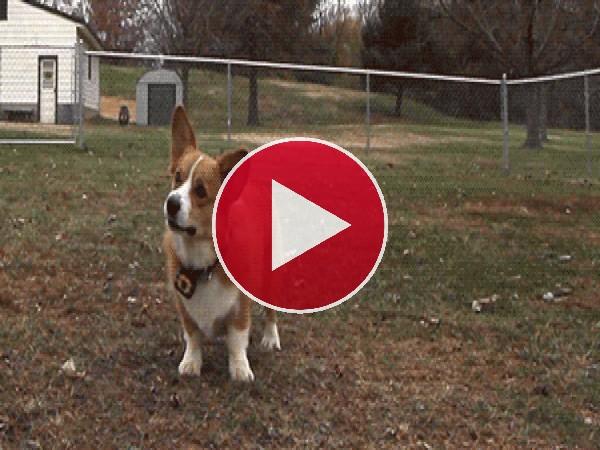 GIF: Perro saltando