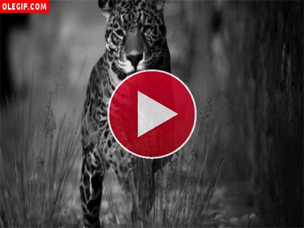 GIF: Jaguar a la caza