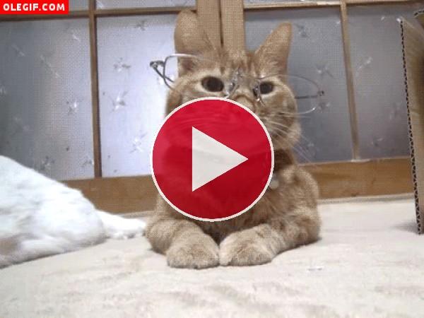 GIF: Gato con gafas
