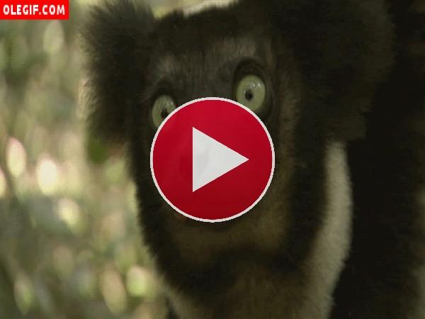 GIF: Lémur masticando