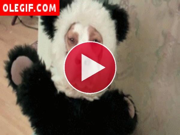 Perro disfrazado de oso panda