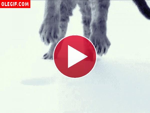 GIF: Gato cayendo sobre la nieve