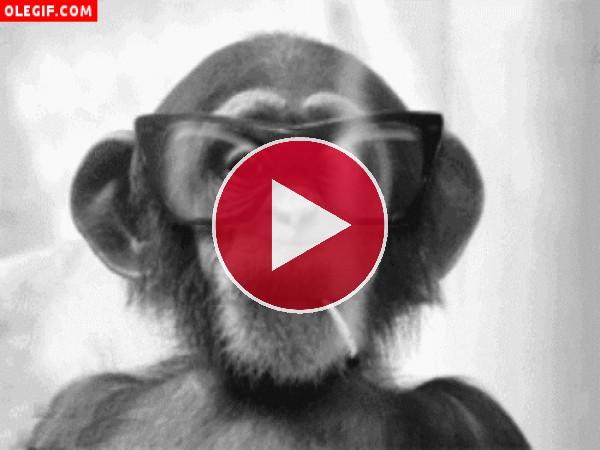 GIF: Chimpancé fumando