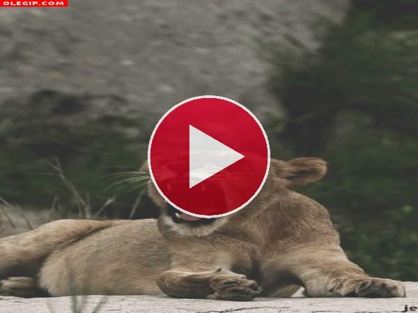 GIF: Cachorro de león bostezando