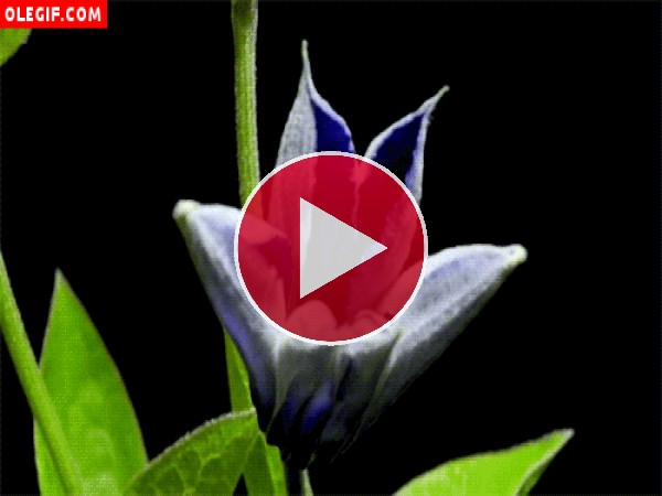 Flor azul abriendo sus pétalos