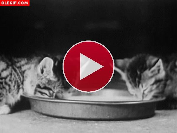 Gatitos bebiendo leche
