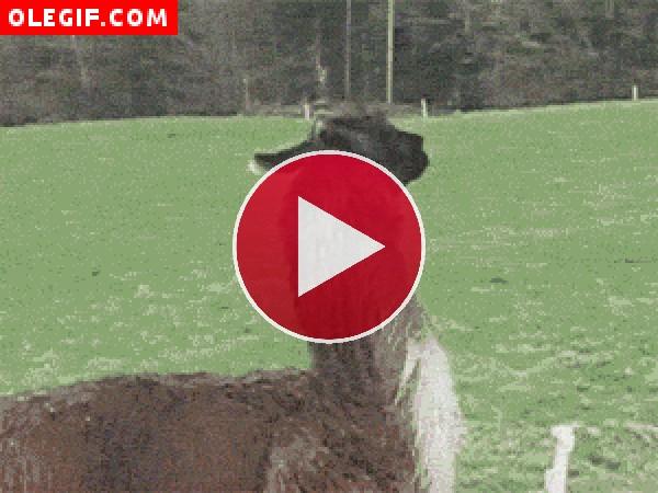 GIF: Llama saltarina