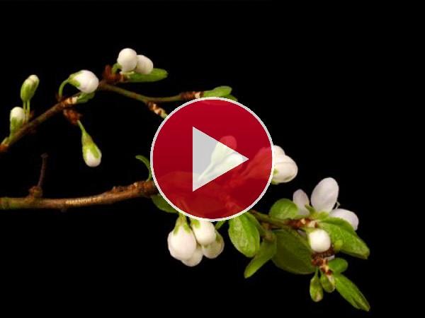 Ramas con flores frutales