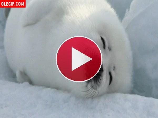 GIF: Foca dormida