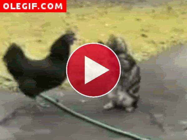 Pelea de un gallo contra un gato